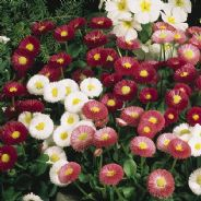 Bellis Perennis enorma mix 100 seeds